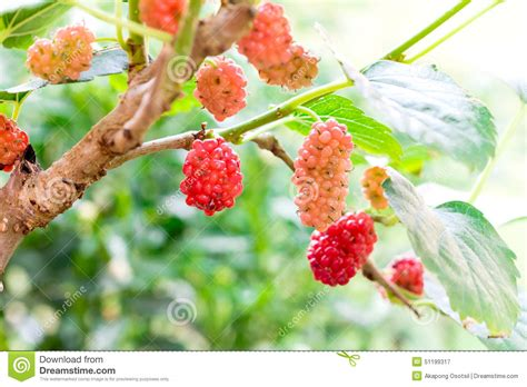 mulberry tree no fruit young red mulberry fruit on tree stock photo image 51199317