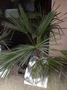 Trachycarpus Fortunei Auspflanzen : trachycarpus fortunei pflege hanfpalme trachycarpus fortunei pflege vermehrung trachycarpus ~ Eleganceandgraceweddings.com Haus und Dekorationen