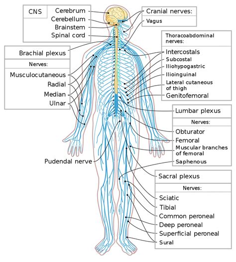 diagrams  human nervous system printable diagram