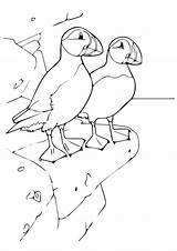 Puffin Coloring Rock Bird Toddlers Drawings Puffins Outline Newfoundland Colouring Atlantic Iceland Animal Rocky Standing Easy Sans Ink Momjunction Visit sketch template