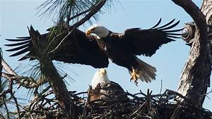 Photos  2019 Southwest Florida Eagle Cam Eaglets Are