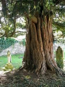 pictures of yew trees yew tree st george s churchyard 169 maigheach gheal geograph britain and ireland
