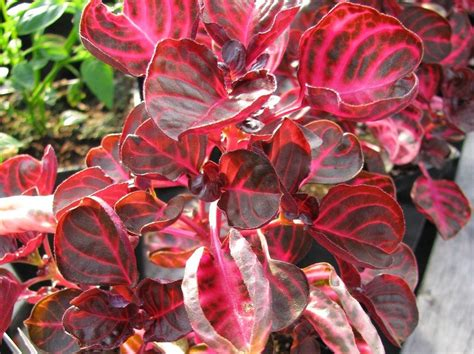 Iresine Plant Info  Learn About Growing Bloodleaf Plants