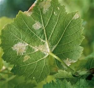 Traitement Contre L Oïdium : les maladies de la vigne comment les viter jardin ~ Dallasstarsshop.com Idées de Décoration