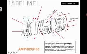 Drawing The Fluid-mosaic Model  2016  Ib Biology
