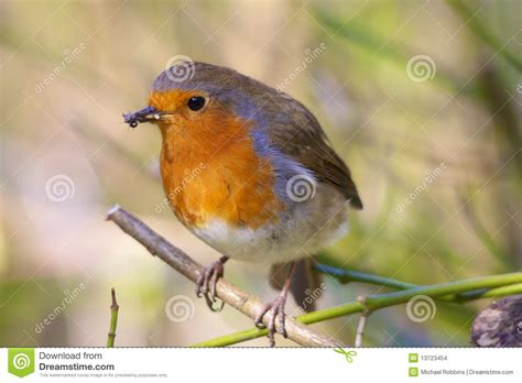 robin eating insects stock images image 13723454