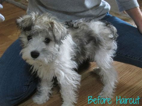 Image Result For Schnauzer Puppy Cut