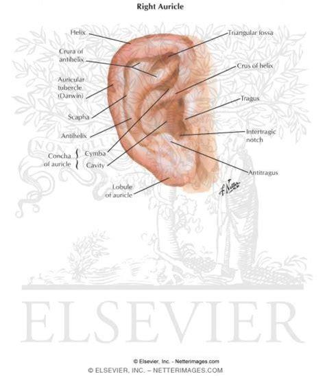 ear auricle pinna ear auricula pavillion