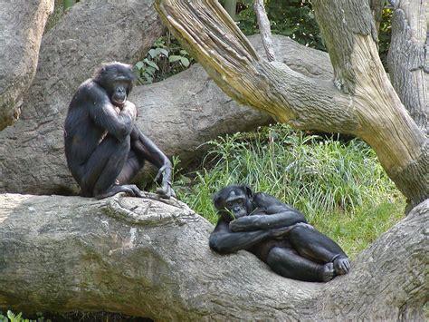 Bonobo – Wikipédia, a enciclopédia livre