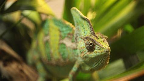 animals better change chameleons shape than getty