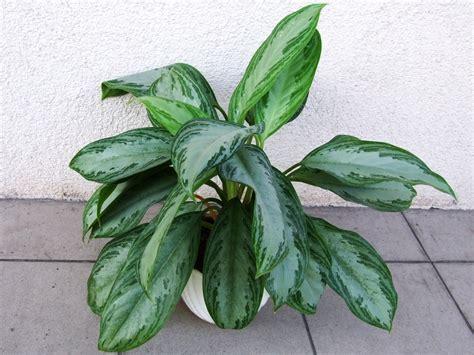 merawat tanaman hias daun aglaonema tanaman hias