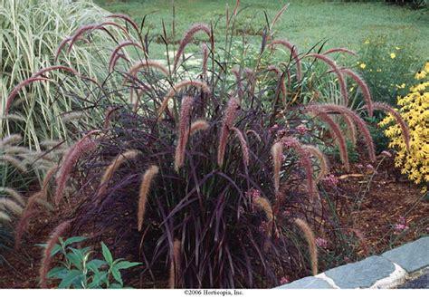 perennial purple grass beechwood landscape architecture and construction giant purple fountain grass perennial gras