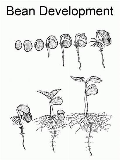 Coloring Plant Lifecycle