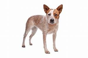 Australian Cattle Dog | Dogs | Breed Information | Omlet