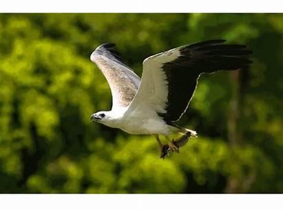 Birds Prey Eagle Sea Bellied Migratory Bird