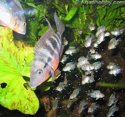 firemouth cichlid thorichthys meeki