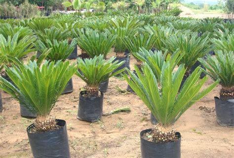 palma cica palma de sag 250 cyca revoluta sag 250 d japon 60cm 450 00 en mercado libre