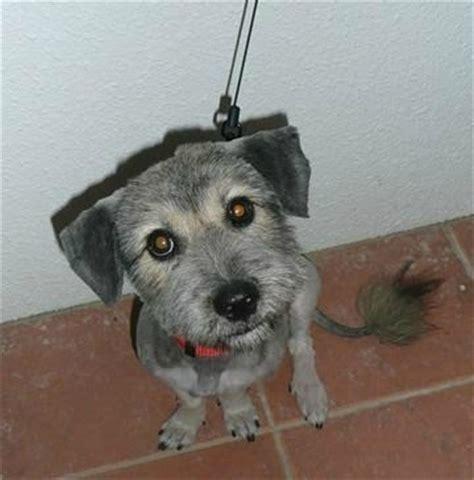 dachshund  schnauzer mixed breed information