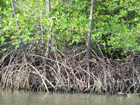 FYE Honors Integrated Science 2012: Mangroves