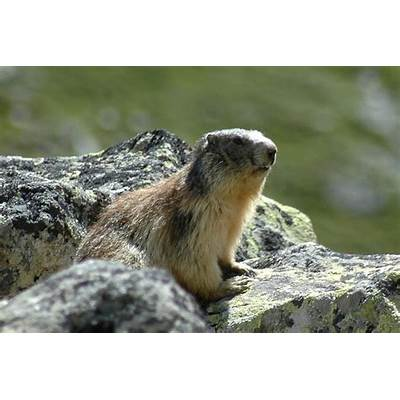 The News For Squirrels: Squirrel Facts: Alpine Marmot