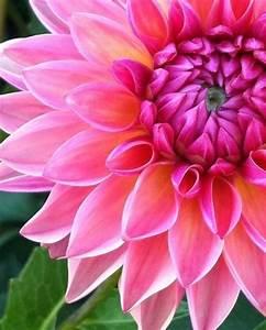 Flower Power Blumen : 94 besten flower power dahlia bilder auf pinterest dahlien dahlien blumen und sch ne blumen ~ Yasmunasinghe.com Haus und Dekorationen