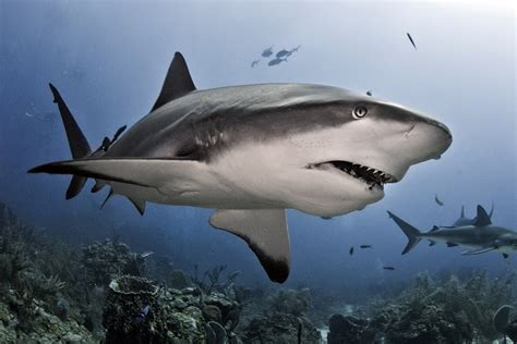 shark senses how sharks work howstuffworks