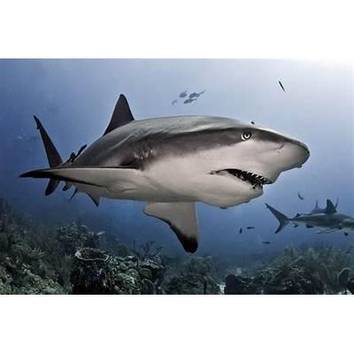Shark Senses - How Sharks WorkHowStuffWorks