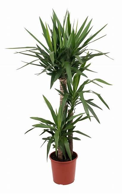 Yucca Plant Tree Pot Diy