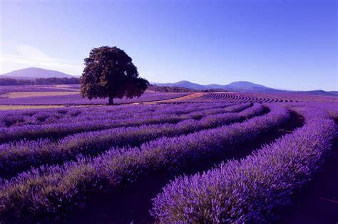 Bilder Mit Lavendel lavendel 187 niedrige sorten im 220 berblick