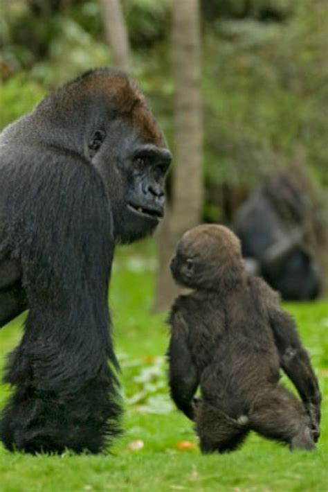Wild Silverback Gorilla