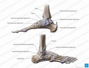 Diagram    Pictures  Ankle Joint  Anatomy