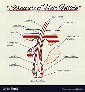 Structure Of Human Hair Royalty Free Vector Image
