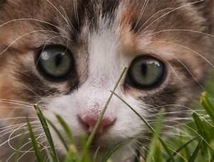 Herbe à Chat : herbe chat composition et utilisation ooreka ~ Melissatoandfro.com Idées de Décoration