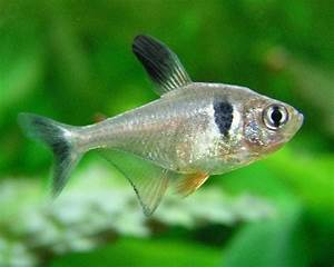 Co2 Bläschen Berechnen : schwarzer phantomsalmler hyphessobrycon megalopterus aqua ~ Themetempest.com Abrechnung