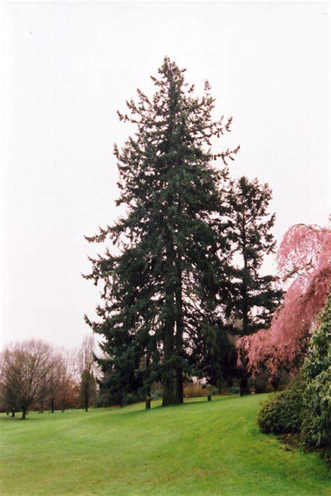 coast douglas fir pseudotsuga menziesii var menziesii