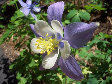 the columbine flower file columbine flower jpg wikipedia