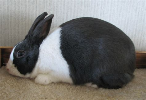10 popular and pet rabbit breeds the self sufficient living