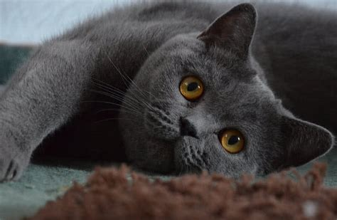 top  largest cat breeds   world  mysterious world