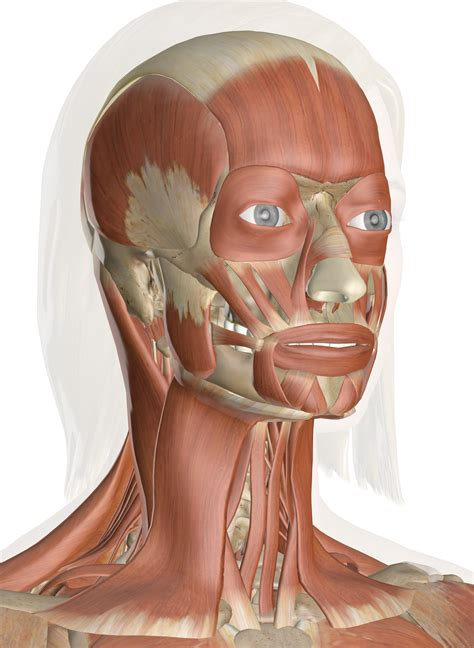 See more ideas about anatomy bones, human anatomy and physiology, anatomy and physiology. Muscles of the Head and Neck - Anatomy Pictures and Information