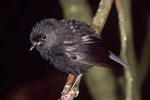Black robin | New Zealand Birds Online