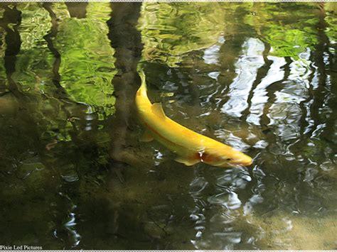 golden carp bless  ultima
