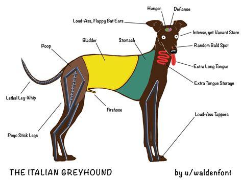 The Anatomy Of The Italian Greyhound (mine Anyway) [oc