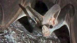 Endangered ghost bats still fighting for survival 30 years ...