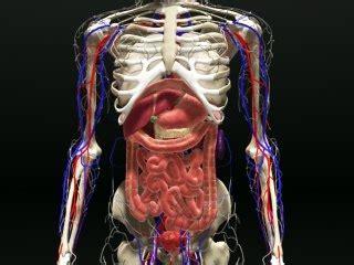 entire human body internal organs  model