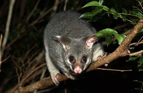 Possum Images Possums In Canberra Nowuc