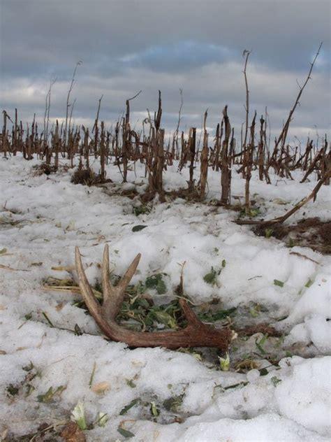 deer shedding antlers early in southwestern wisconsin