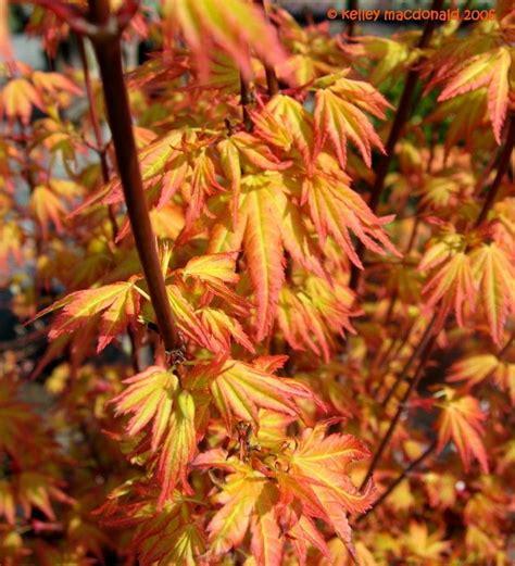 orange japanese maple plantfiles pictures japanese maple orange dream acer palmatum by kell