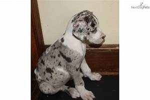 Great Dane Puppies Harlequin | www.imgkid.com - The Image ...