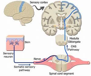 Sample Somatic Nervous System Pathways