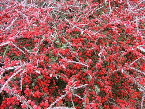 Frosty Red Berries Free Stock Photo | Red berries, Berries ...